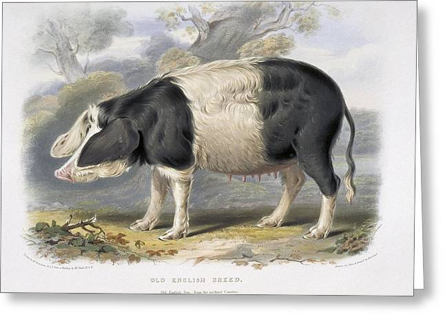 Su Greeting Cards - Old English Pig, 19th century Greeting Card by Science Photo Library