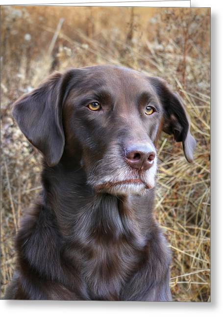 Chocolate Lab Greeting Cards - Old Faithful Greeting Card by Lori Deiter