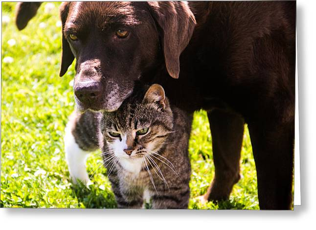 Chocolate Lab Greeting Cards - Old Friends Greeting Card by Roger Wedegis