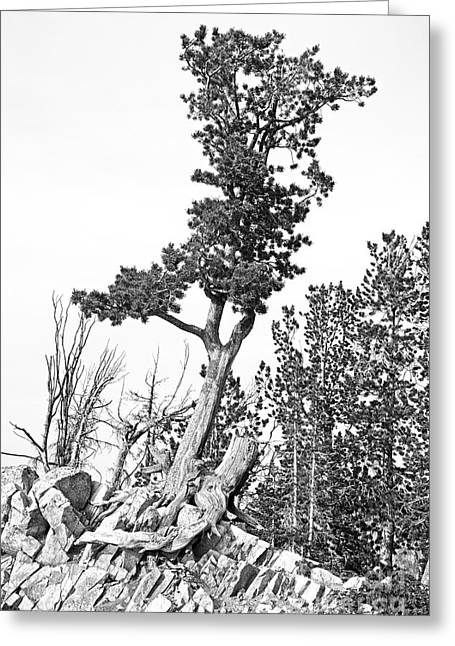 Living Tree Greeting Cards - Old Gnarly Tree Greeting Card by Edward Fielding