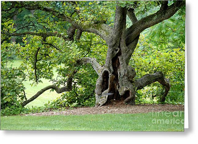Gnarly Greeting Cards - Old gnarly tree Greeting Card by Glenn Morimoto
