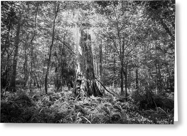 Environmental Center Greeting Cards - Old Growth Cypress Tree Seminole County Environmental Center BW Greeting Card by Rich Franco