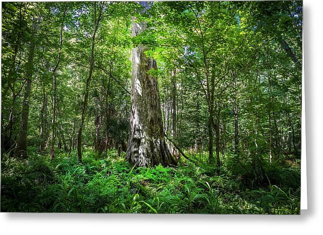Environmental Center Greeting Cards - Old Growth Cypress Tree Seminole County Environmental Center Greeting Card by Rich Franco