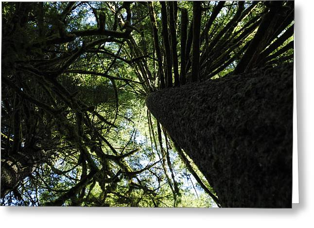 Old Growth Greeting Card by Derek Noland