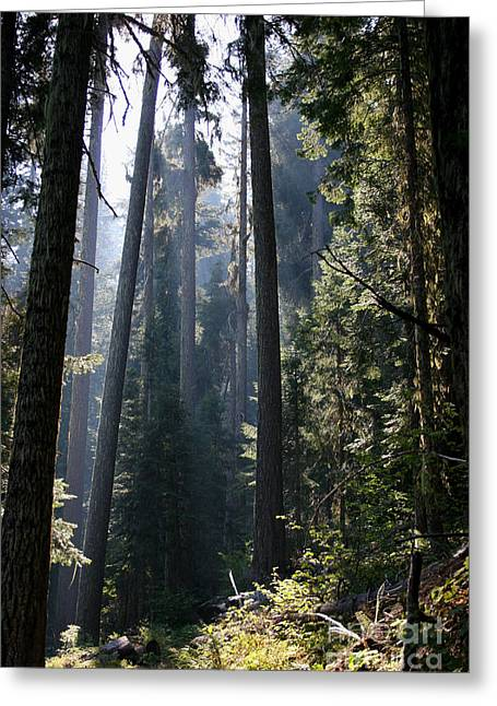 Dappled Light Greeting Cards - Old Growth Firs Greeting Card by Jeanette French