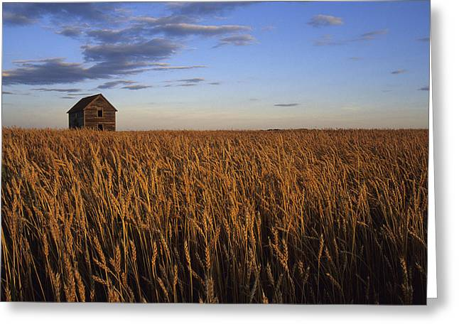 Reaping Greeting Cards - Old House In Wheat Field, Saskatoon Greeting Card by Rebecca Grambo