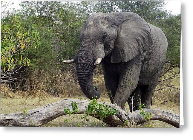 Elephant Pyrography Greeting Cards - Old Man Greeting Card by Ashlee Maree