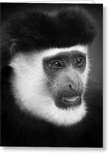 Surveying Greeting Cards - Old Man Colobus 1 Greeting Card by Mike Gaudaur