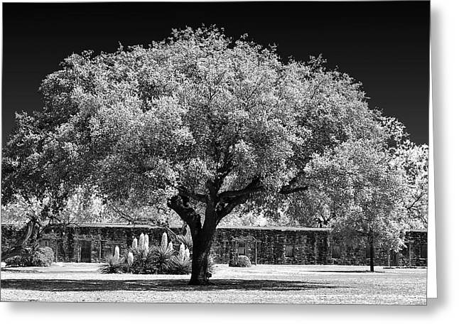 Tall Tree Greeting Cards - Old Oak Tree Mission San Jose Greeting Card by Christine Till