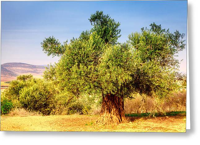 Saffuriya Greeting Cards - Old olive tree Greeting Card by Alexey Stiop