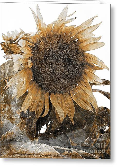Subtle Colors Greeting Cards - Old sunflower 542-11-13 marucii Greeting Card by Marek Lutek
