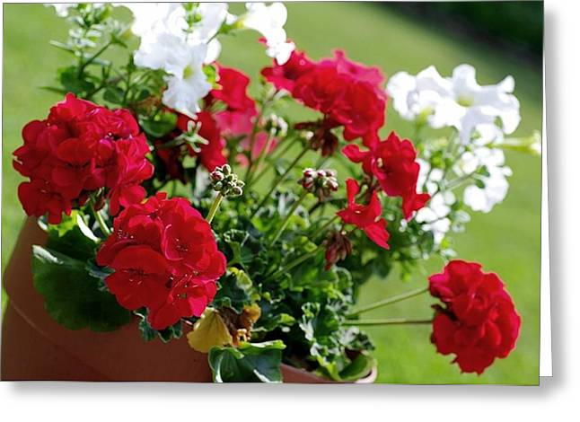Red Geraniums Greeting Cards - Old Time Favorite Greeting Card by Stephanie Calhoun
