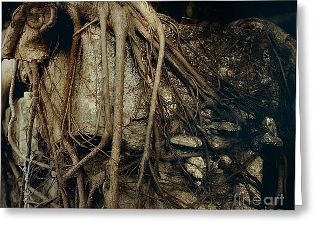Tree Roots Photographs Greeting Cards - Old Tree on Broken Wall Greeting Card by Yali Shi