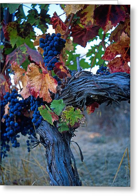 Wine Prints Greeting Cards - Old Vine Greeting Card by Kathy Yates