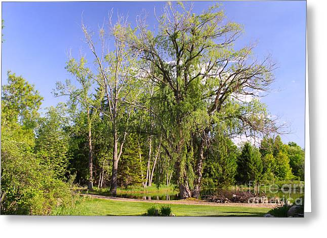 Foliage Fragrance Greeting Cards - Old Willow Tree Greeting Card by Corey Ford