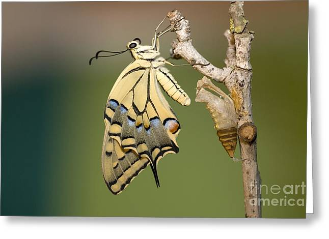 Cocoon Greeting Cards - Old World Swallowtail Papilio machaon Greeting Card by Eyal Bartov