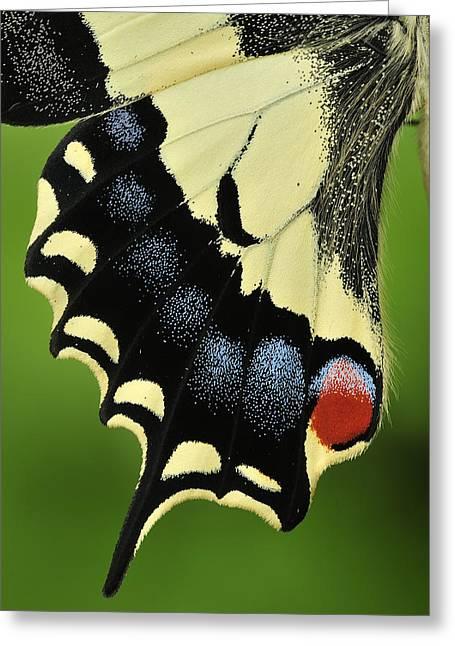 Thomas Marent Greeting Cards - Oldworld Swallowtail Wing Detail Greeting Card by Thomas Marent