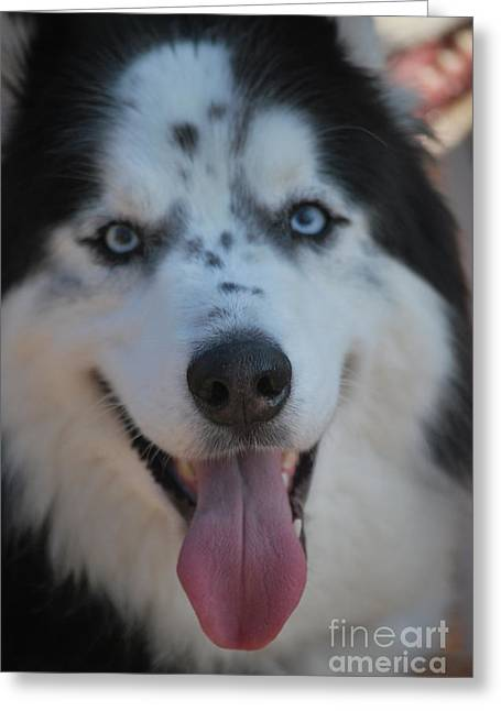 Husky Greeting Cards - Ole Blue Eyes Greeting Card by Tim Hauser