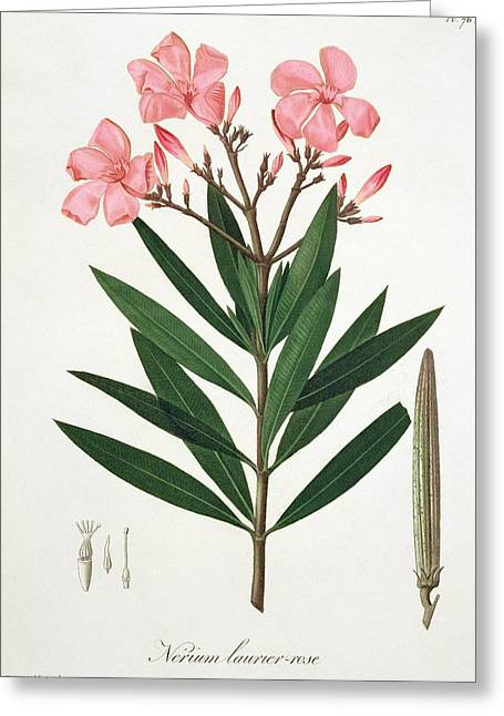 Laurel Greeting Cards - Oleander from Phytographie Medicale by Joseph Roques  Greeting Card by L F J Hoquart