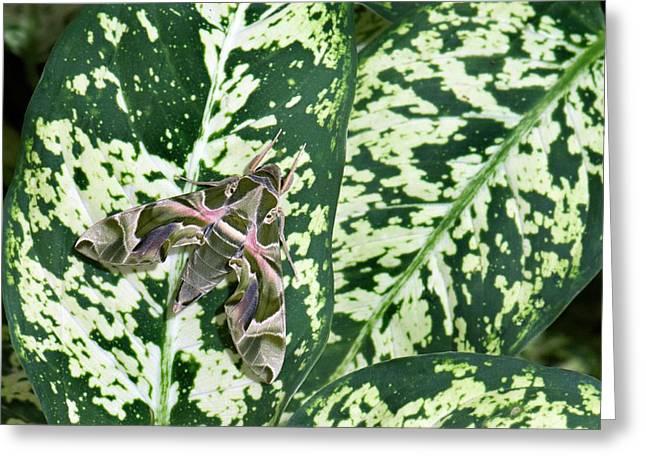 Oleander Hawk-moth On A Leaf Greeting Card by K Jayaram