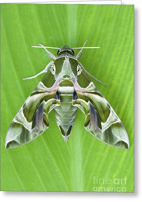 Color Green Greeting Cards - Oleander Hawk moth Greeting Card by Tim Gainey