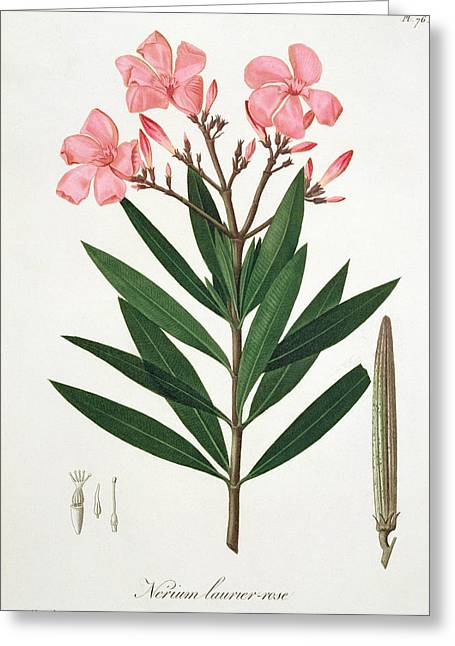 Roses Drawings Greeting Cards - Oleander Greeting Card by LFJ Hoquart