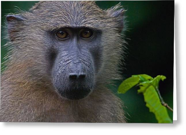 Stefan Carpenter Greeting Cards - Olive Baboon Greeting Card by Stefan Carpenter