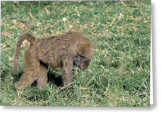 Mammalia Greeting Cards - Olive Baboon Greeting Card by William H. Mullins