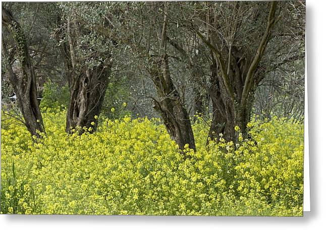 Olive Grove Greeting Cards - Olive Grove, Greece Greeting Card by Science Photo Library