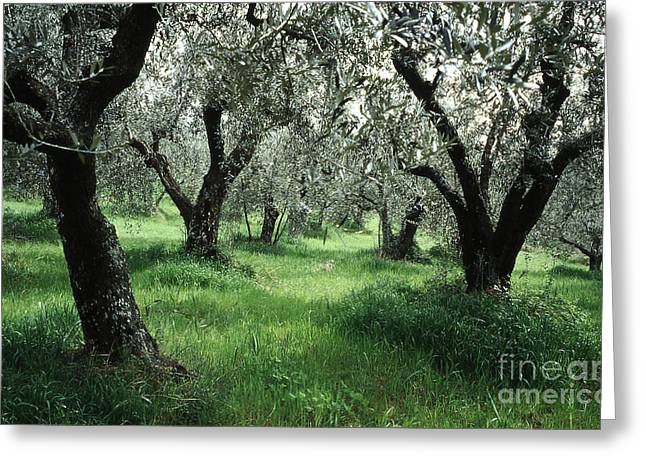 Cultivation Greeting Cards - Olive Grove Greeting Card by Heiko Koehrer-Wagner