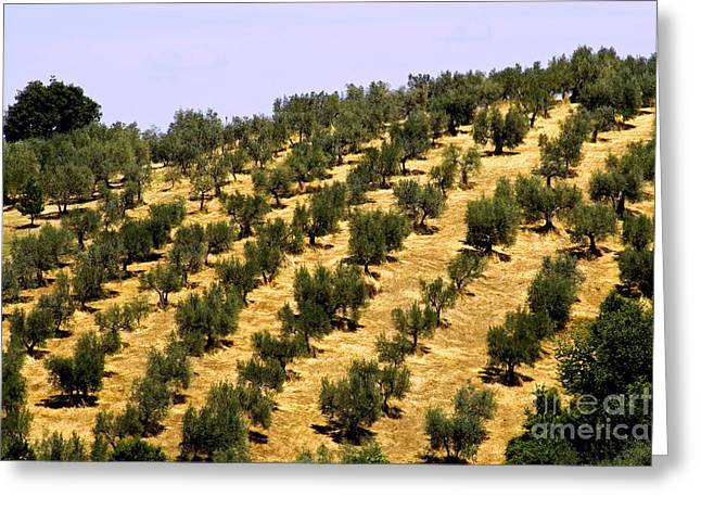 (olea Europaea) Greeting Cards - Olive Grove, Italy Greeting Card by Tim Holt