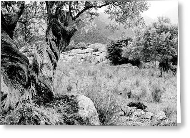 Olive Grove Greeting Cards - Olive Grove, Majorca, Balearic Islands Greeting Card by Panoramic Images