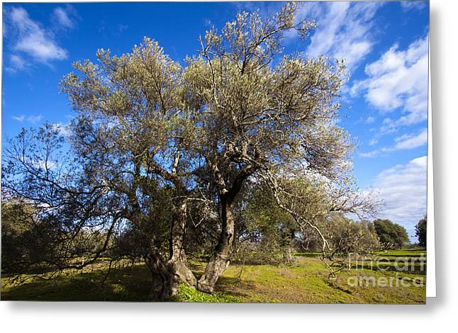 (olea Europaea) Greeting Cards - Olive Grove Greeting Card by Tim Holt