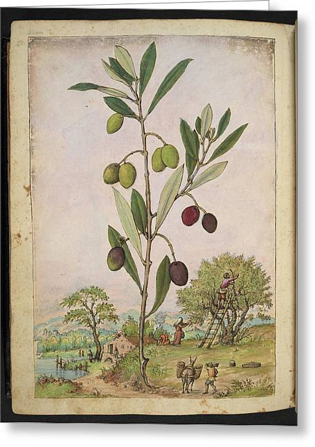 Olive (olea Europaea) Greeting Card by British Library