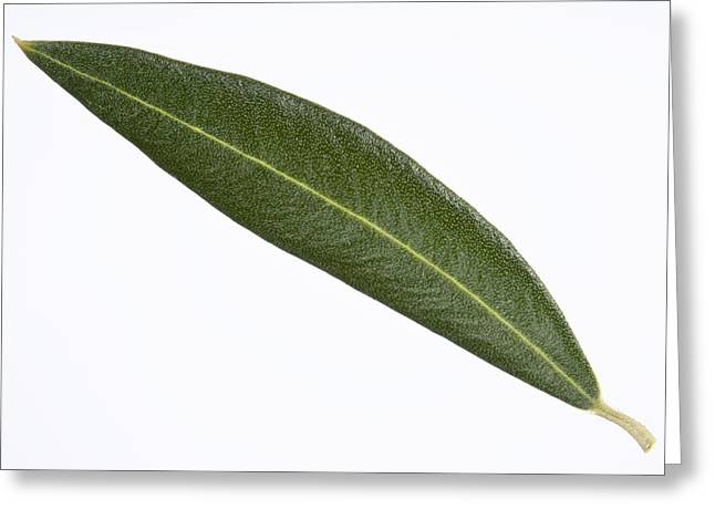 (olea Europaea) Greeting Cards - Olive (Olea europaea) tree leaf Greeting Card by Science Photo Library