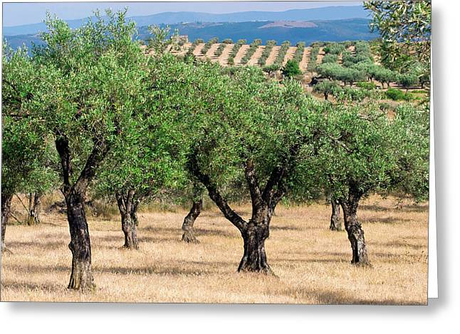 Olive Orchards, Portugal Greeting Card by Susan Degginger