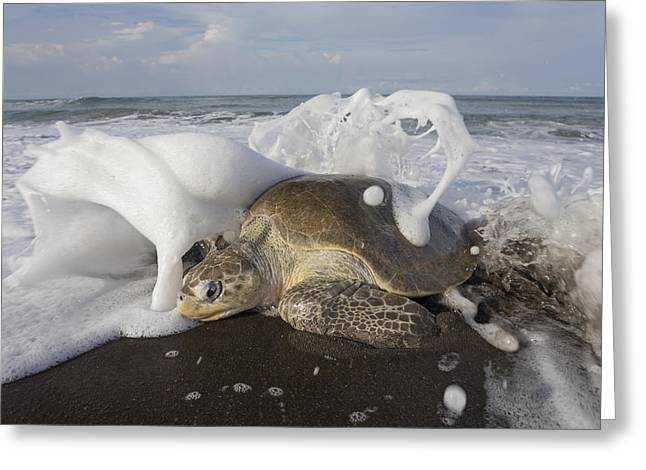 Beach Photos Greeting Cards - Olive Ridley Sea Turtle Coming Ashore Greeting Card by Ingo Arndt