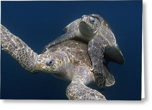 Beach Photos Greeting Cards - Olive Ridley Sea Turtles Mating Costa Greeting Card by Ingo Arndt
