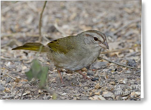 Olive Sparrow Greeting Card by Anthony Mercieca