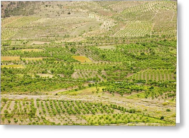 Olive Tree And Orchard Groves Greeting Card by Ashley Cooper