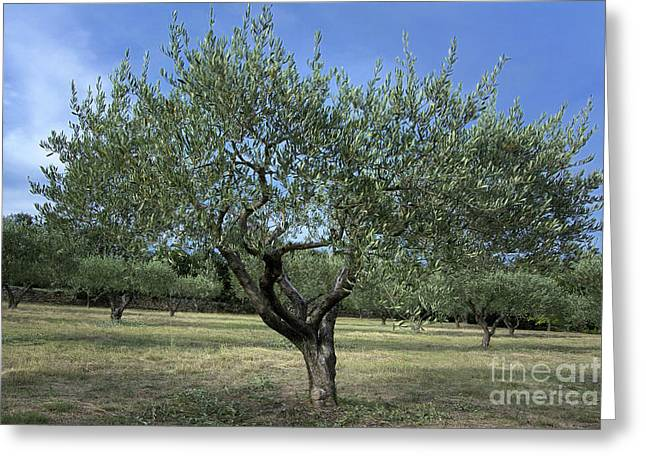 Olives Photographs Greeting Cards - Olive tree Greeting Card by Bernard Jaubert