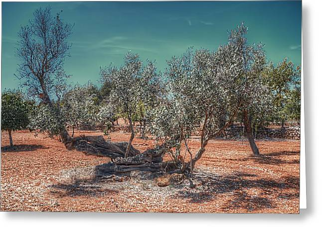 Nature Greeting Cards - Olive Tree Greeting Card by Curtis Radclyffe