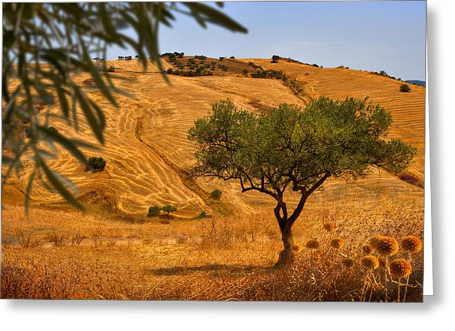 Olive Oil Greeting Cards - Olive Tree Field Greeting Card by Mal Bray