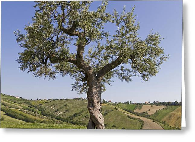 Olive Pyrography Greeting Cards - Olive tree Greeting Card by Maurizio Bacciarini