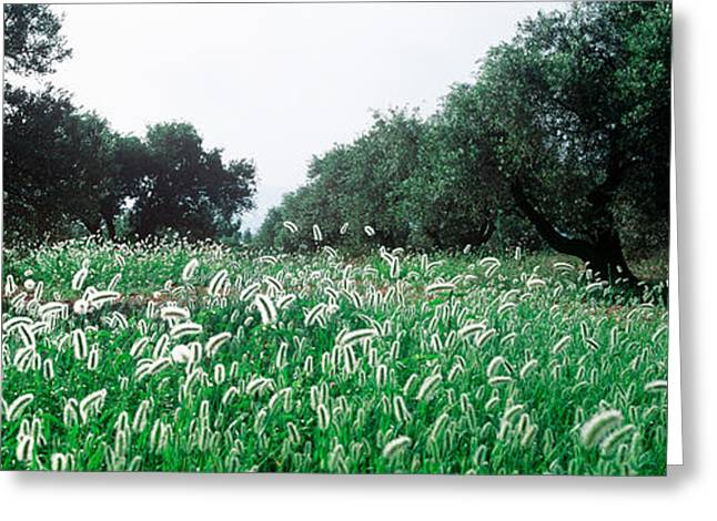 Olive Green Greeting Cards - Olive Tree Plantation In Summer Greeting Card by Panoramic Images