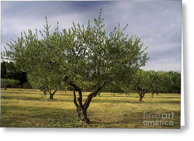 Olive Tree. Provence. France Greeting Card by Bernard Jaubert