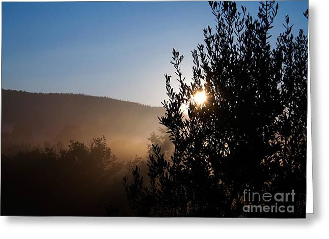 (olea Europaea) Greeting Cards - Olive Tree Greeting Card by Tim Holt