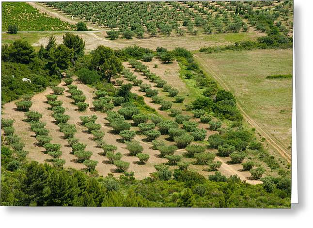 Olive Trees In Field, Les Greeting Card by Panoramic Images
