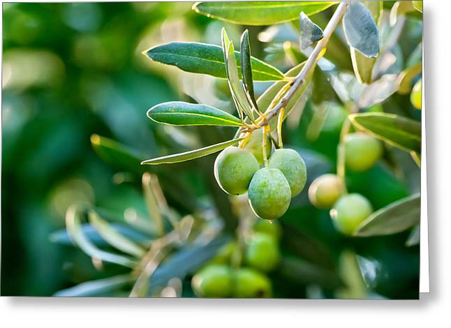 (olea Europaea) Greeting Cards - Olives On Its Tree Branch  Greeting Card by Leyla Ismet