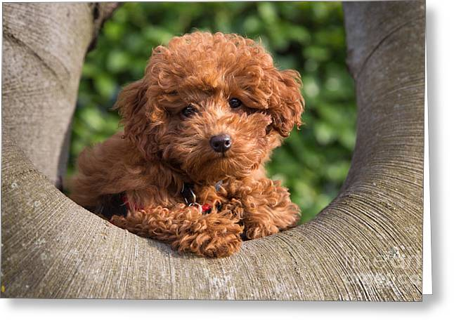 Puppies Pyrography Greeting Cards - Olli on a branch Greeting Card by Maurizio Bacciarini